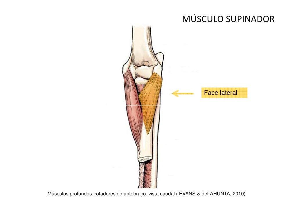 Famoso Lo Que Es La Supinación En La Anatomía Modelo - Anatomía de ...