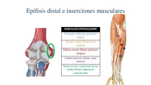 Epífisis distal e inserciones musculares MÚSCULOS EPITROCLEARES Pronador redondo (pronator teres) Palmar mayor (flexor car...