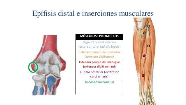 Musculos epitrocleares y epicondilos Slide 2