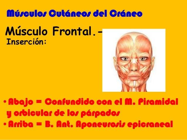 •Abajo = Confundido con el M. Piramidal y orbicular de los párpados •Arriba = B. Ant. Aponeurosis epicraneal Músculo Front...