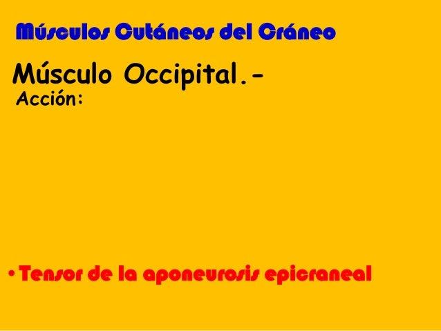 •Tensor de la aponeurosis epicraneal Músculo Occipital.- Acción: Músculos Cutáneos del Cráneo
