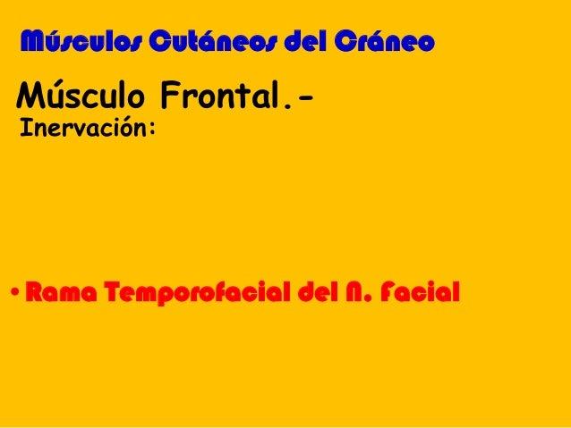 Músculo Frontal.- Inervación: Músculos Cutáneos del Cráneo •Rama Temporofacial del N. Facial