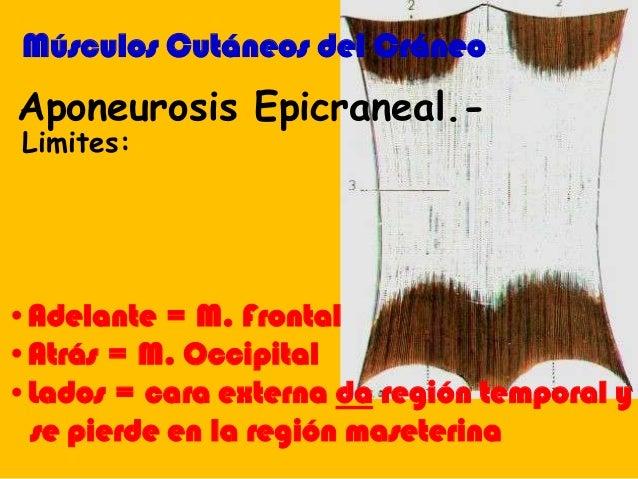 Aponeurosis Epicraneal.- Músculos Cutáneos del Cráneo •Adelante = M. Frontal •Atrás = M. Occipital •Lados = cara externa d...