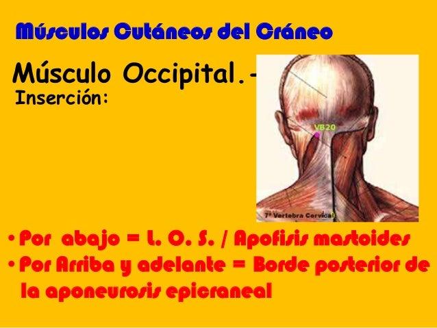 •Por abajo = L. O. S. / Apofisis mastoides •Por Arriba y adelante = Borde posterior de la aponeurosis epicraneal Músculo O...
