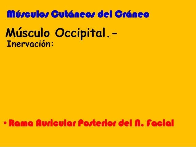 •Rama Auricular Posterior del N. Facial Músculo Occipital.- Inervación: Músculos Cutáneos del Cráneo
