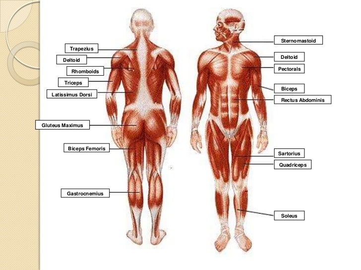 musculoskeletal system, Muscles