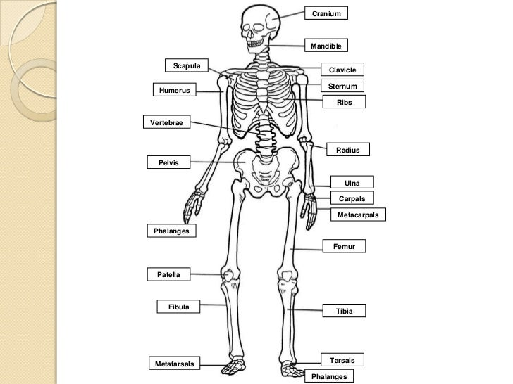 changes in the human musculoskeletal system The skeletal system - extensive anatomy images and detailed descriptions allow you to learn all about the bones of the human skeleton, as well as ligaments.