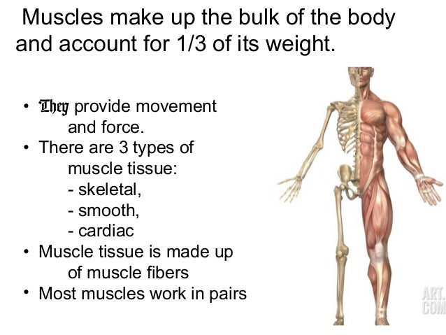 skeletal and muscular system, Muscles