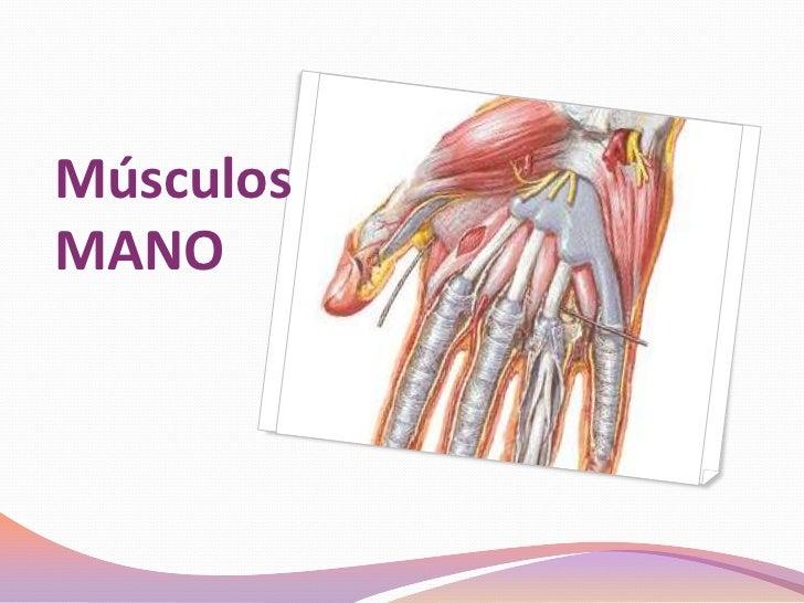 musculos-mano-5-728.jpg?cb=1348377024