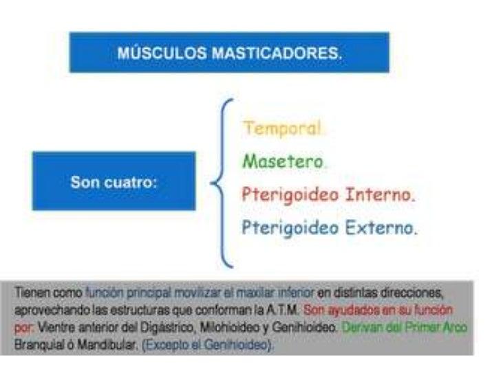 Musculos masticadores