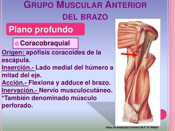 Magnífico Muscular En Brazo Superior Embellecimiento - Anatomía de ...