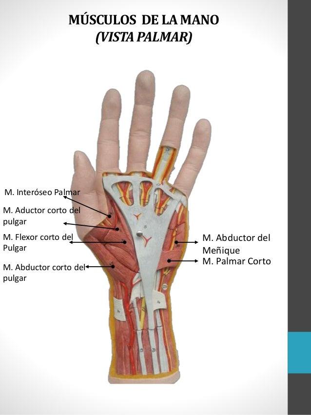 Contemporáneo Los Huesos Del Pulgar Modelo - Anatomía de Las ...