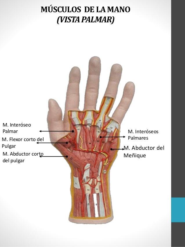 Increíble Pulgar Anatomía Muscular Embellecimiento - Imágenes de ...