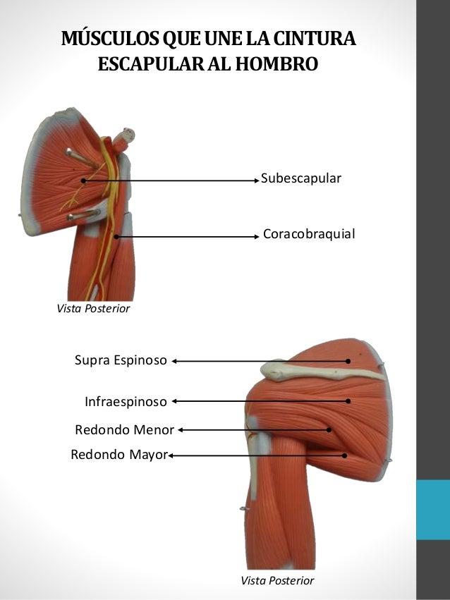 Famoso Menor De Vídeo Anatomía Del Miembro Friso - Anatomía de Las ...