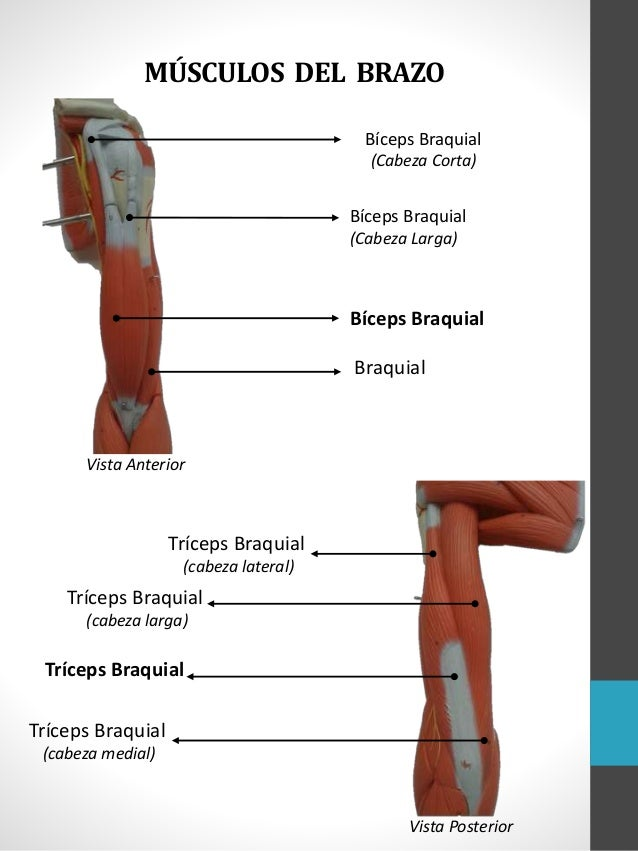 Musculos miembro superior danny