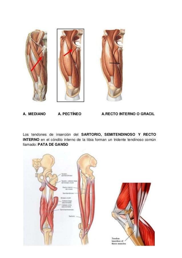 Musculos muslo