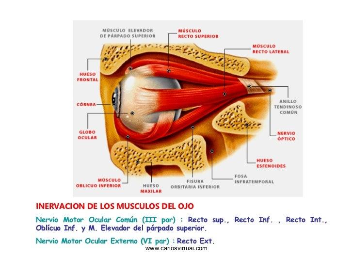 Musculos Oculomotores Del Ojo