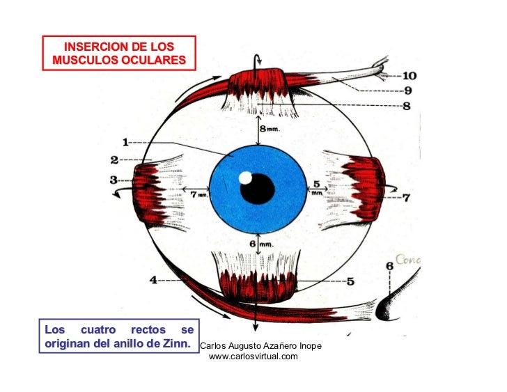 Dorable Anatomía Músculos Extraoculares Cresta - Anatomía de Las ...