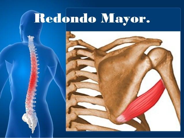 Musculos parte posterior hombro (lab anato)