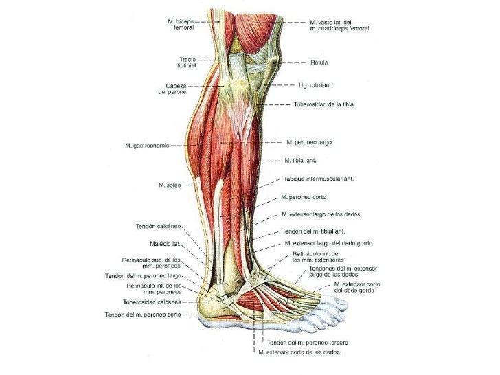 Musculos pierna