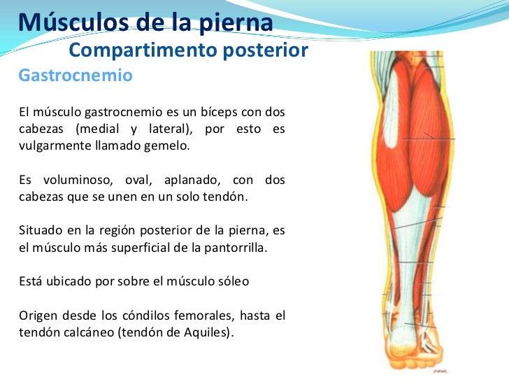 Musculos posteriores de la pierna