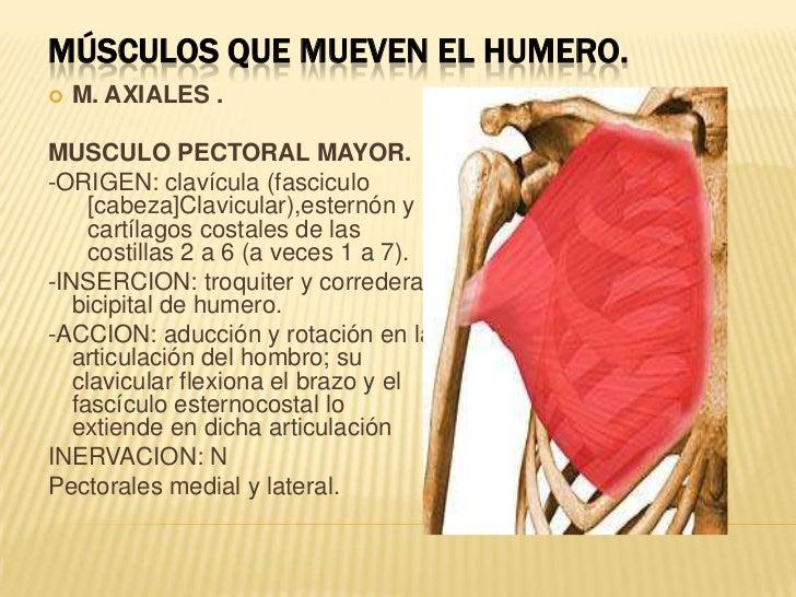 Músculos que mueven el humero.<br /><ul><li>M. AXIALES .</li></ul>MUSCULO PECTORAL MAYOR.<br />-ORIGEN: clavícula (fascicu...