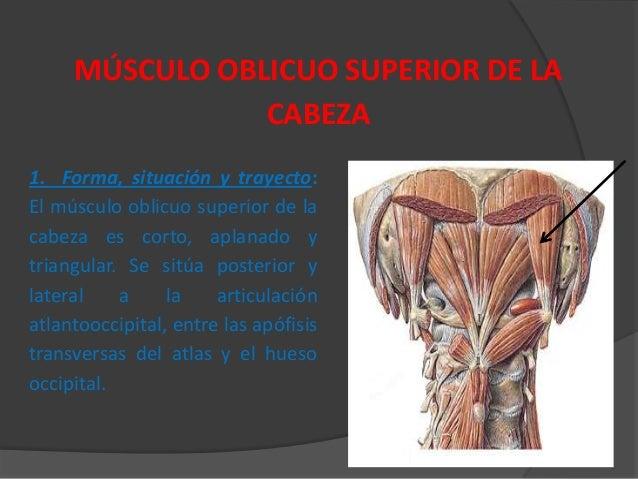Musculos region posterior cuello