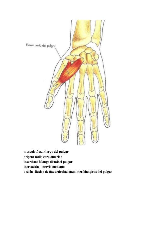 Contemporáneo Pulgar Anatomía Muscular Friso - Anatomía de Las ...