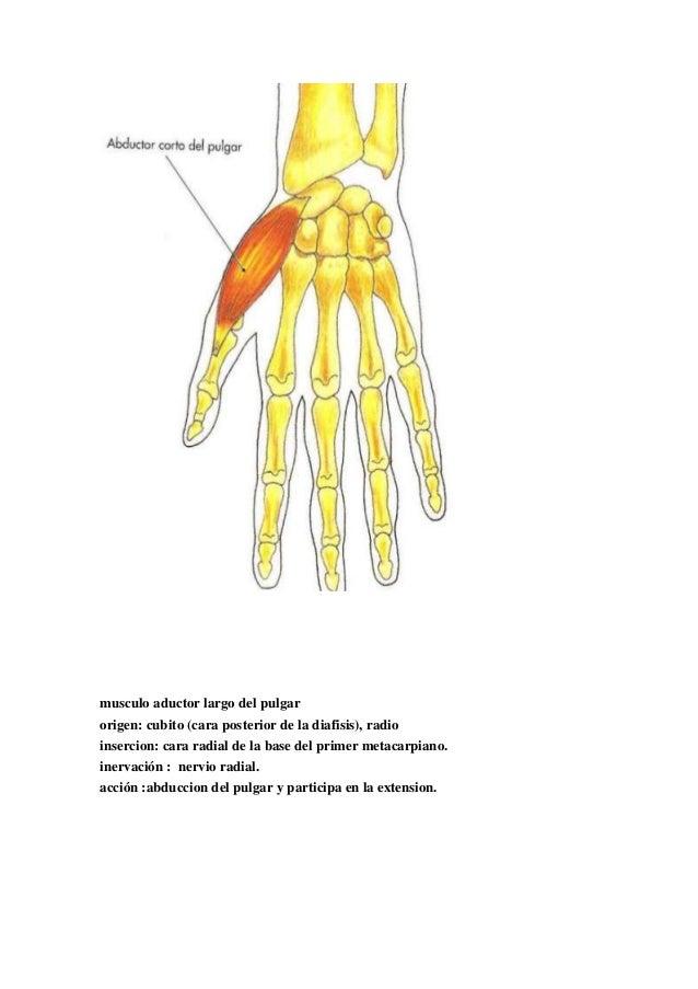 Atractivo Los Huesos Del Pulgar Imagen - Imágenes de Anatomía Humana ...