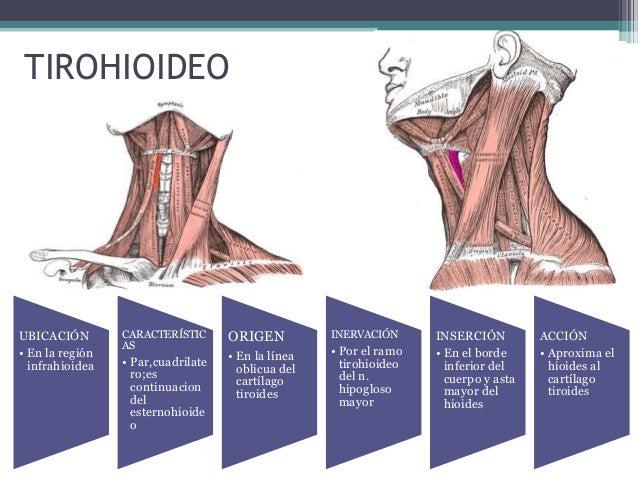 Musculos suprahioideos e infrahioideos for Esternohioideo y esternotiroideo