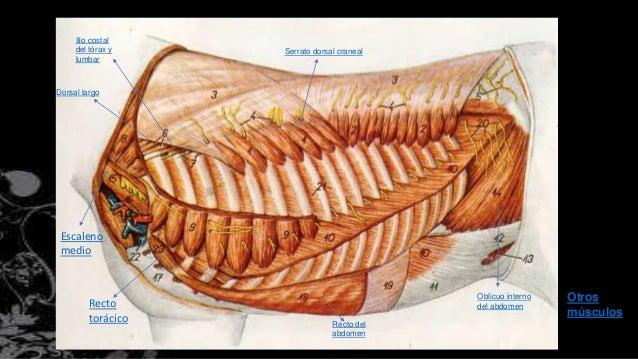 Musculos tronco y abdomen equino