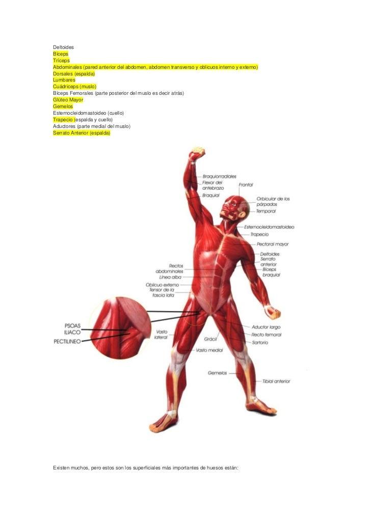 Musculos y huesos mas importantes.