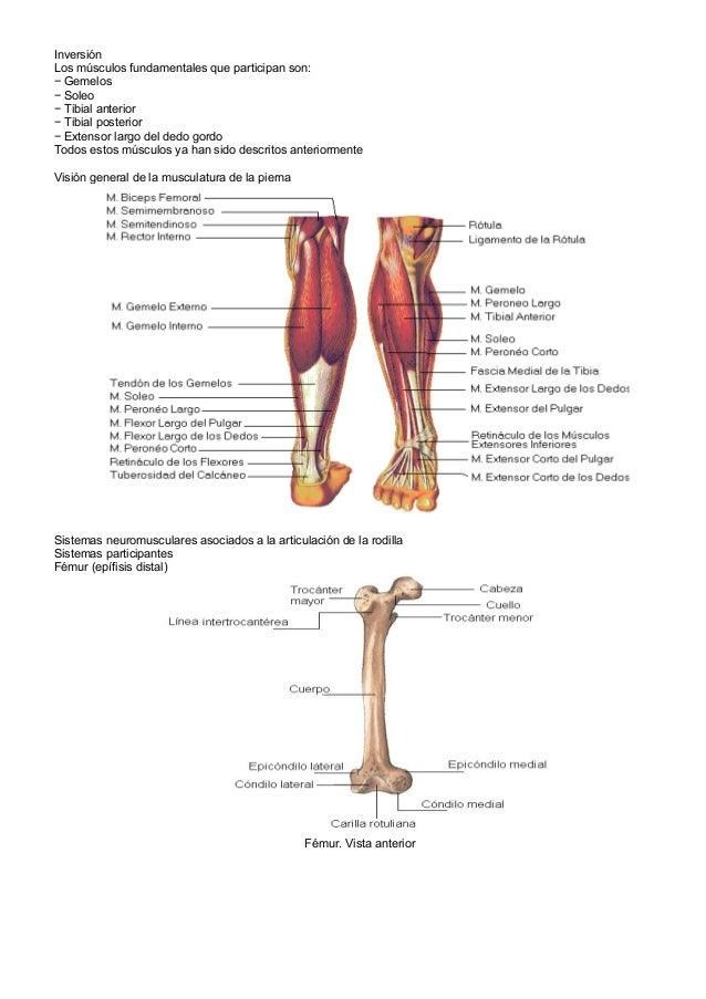 Musculos y venas miembros inferiores