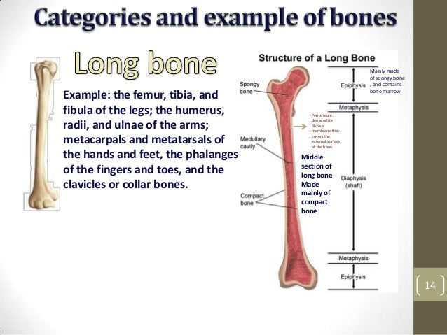 Categories And Example Of Bones 13 14