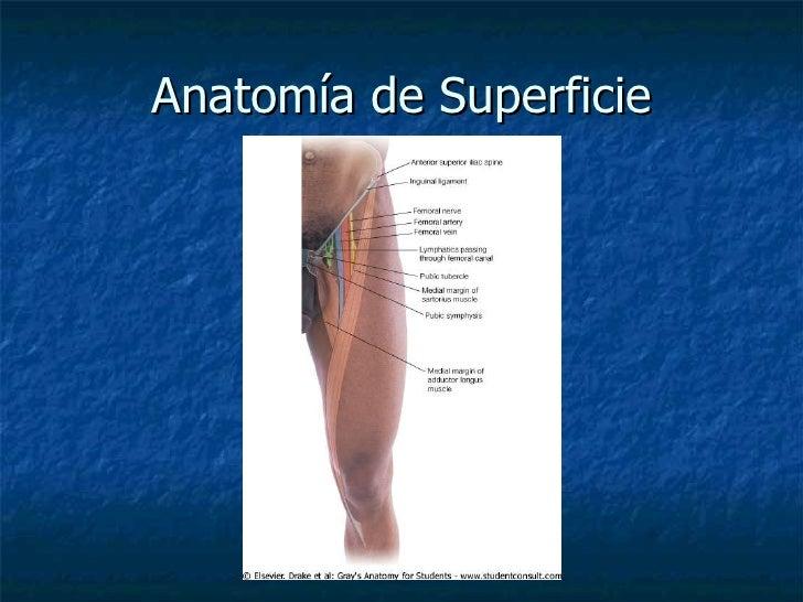 Lujoso Anatomía De Superficie De La Extremidad Inferior Galería ...