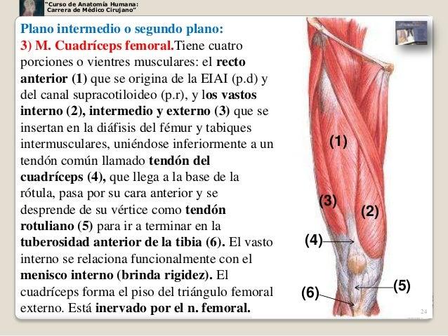 Muslo anteromedial1