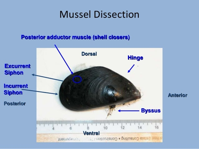Mussel Dissection