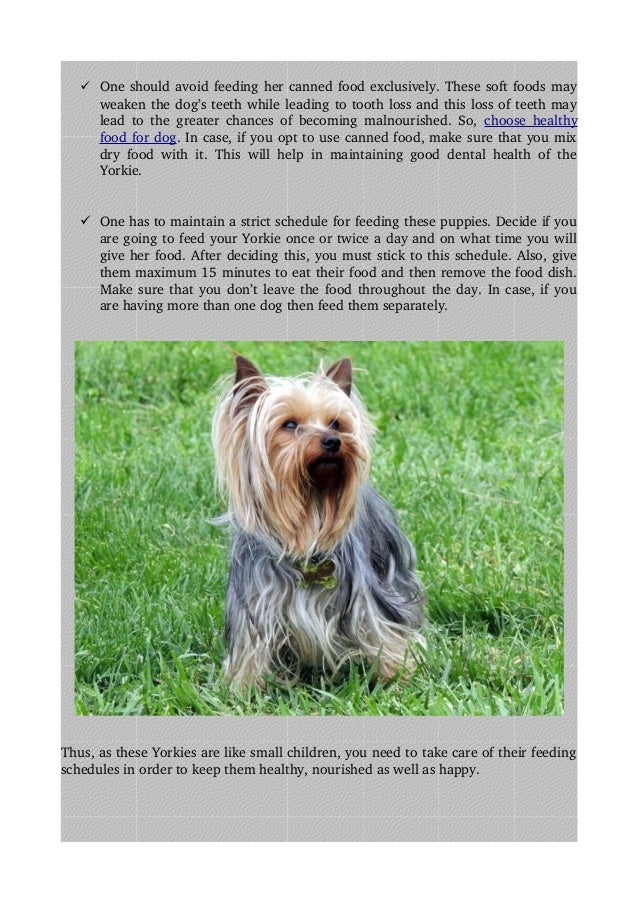 Must Know Things Before Feeding Yorkshire Terrier