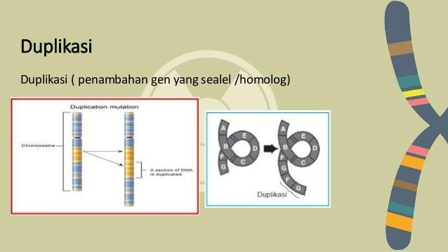 Biologi mutasi duplikasi duplikasi penambahan gen yang sealel homolog ccuart Choice Image