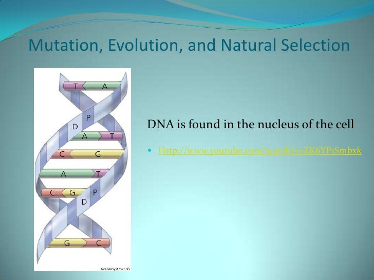 Mutation, Evolution, and Natural Selection<br />DNA is found in the nucleus of the cell<br />Http://www.youtube.com/watch?...