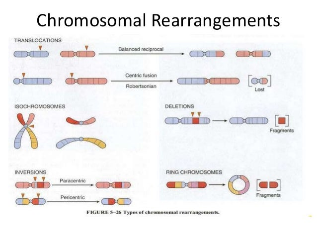chromosomal rearrangements and changes in chromosome Alterations in chromosome number: , leading to 4 types of changes in chromosome distinguish between the chromosomal alterations that are involved in the.