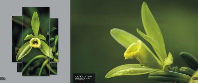 Fleurs de vanillier (vanillia planifolia) de la famille des orchidées. 5150