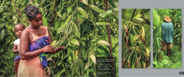 A gauche : ouvrière et son enfant dans la plantation Au centre : liane de vanillier, les gousses se forment après la dispa...