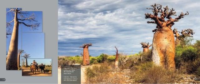 A gauche : charrette à zébus sur l'allée des baobabs de Morondava A droite : Adansonia rubrostipa ou « Fony » près d'Andav...