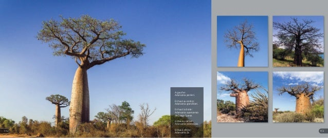 A gauche : Adansonia perrieri. En haut au centre : Adansonia granditieri. En haut à droite : Adansonia suarezensis de Dieg...