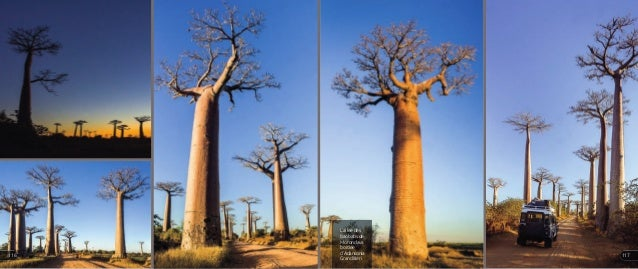 L'allée des baobabs de Morondava bordée d'Adansonia Granditieri 117116