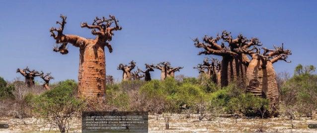 Une des nombreuses croyances locales raconte qu'une divinité, jalouse de la prestance de cet arbre, l'aurait arraché puis ...