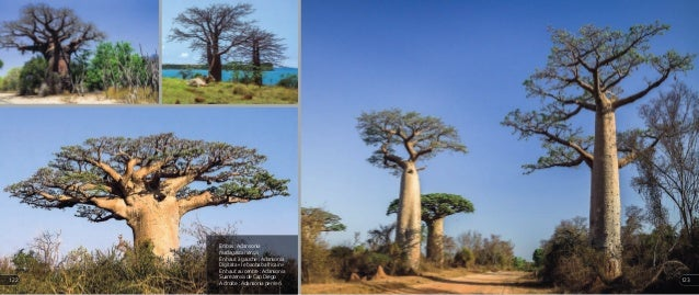 En bas : Adansonia madagascariensis En haut à gauche : Adansonia Digitata « le baobab africain » En haut au centre : Adans...