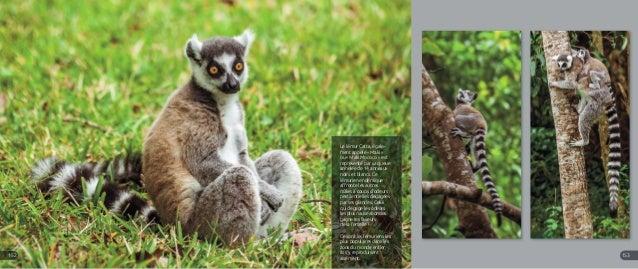 Le lémur Catta, égale- ment appelé « Maki » ou « Maki Mococo » est représenté par sa queue annelée de 14 anneaux noirs et ...