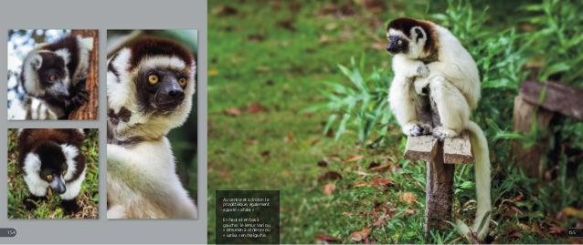 Au centre et à droite : le propithèque, également appelé « sifaka » En haut et en bas à gauche : le lemur Vari ou « lémuri...